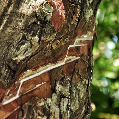 Chicle tree